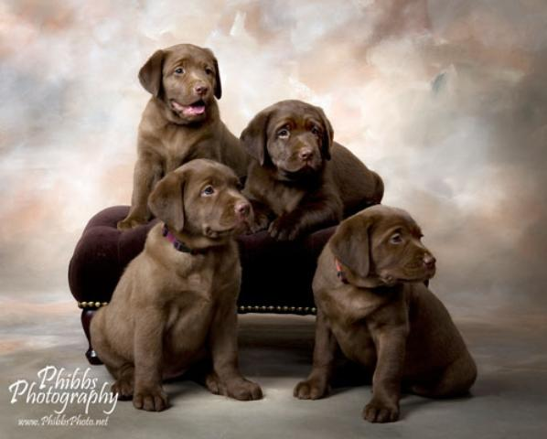 Labrador Puppies For Sale in California